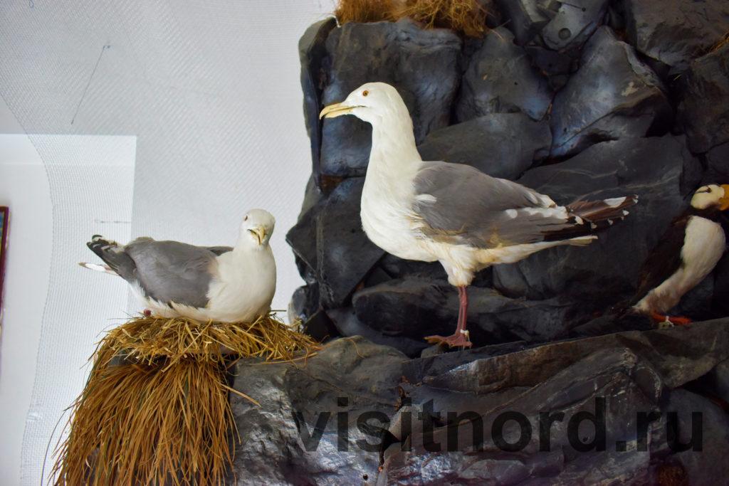 баклан в музее