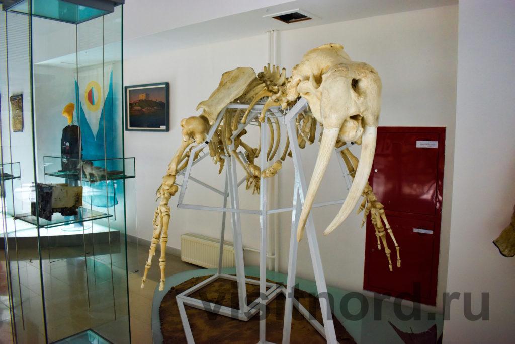 кости моржа в музее