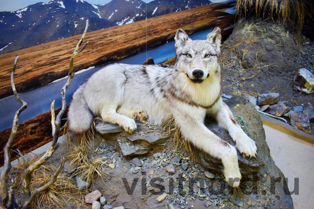 волк в музее