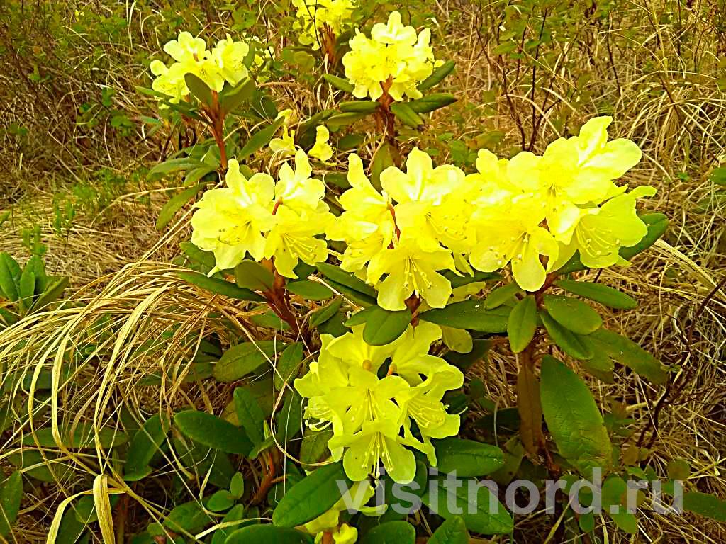 Рододендрон золотистый