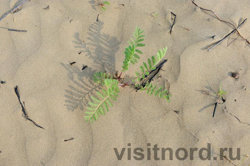 Растение на пляже
