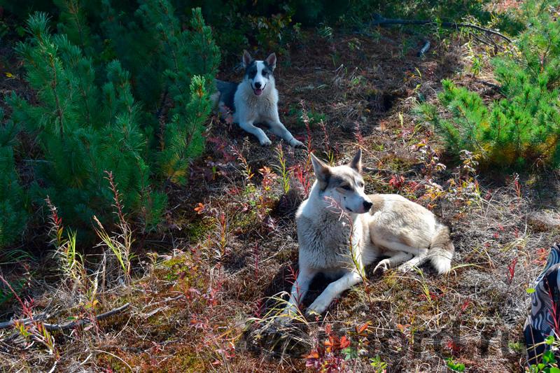 Собаки из Снежного