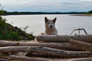 Собаки на Ярах