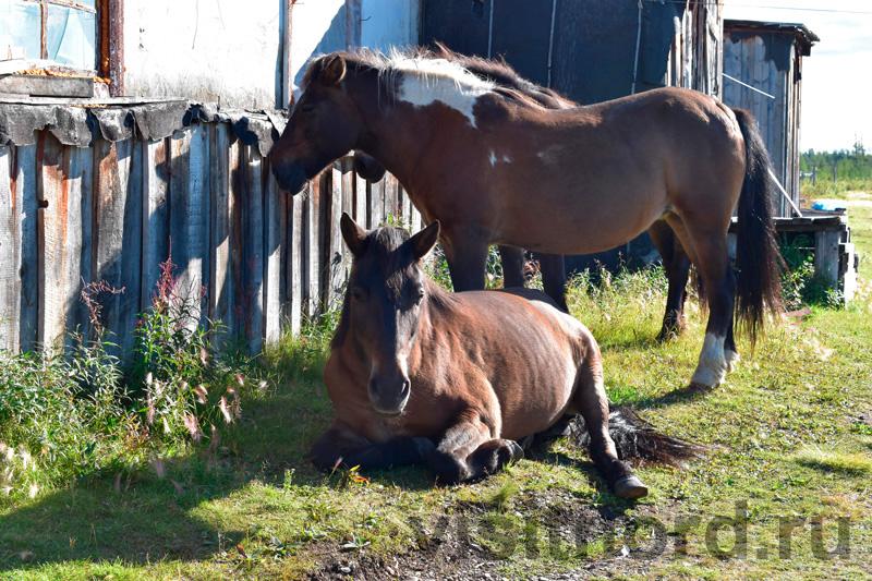 Лошади Ламутское