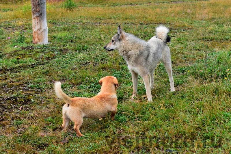 Собаки Ламутское