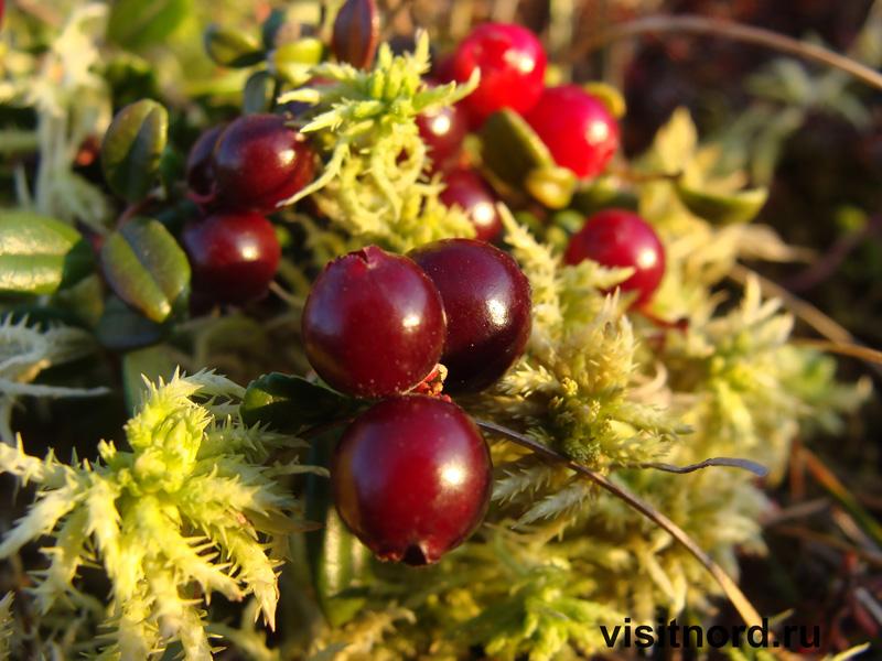 ягода в тундре