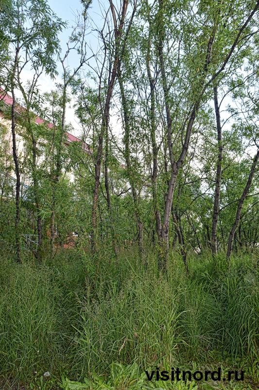Лес в Анадыре