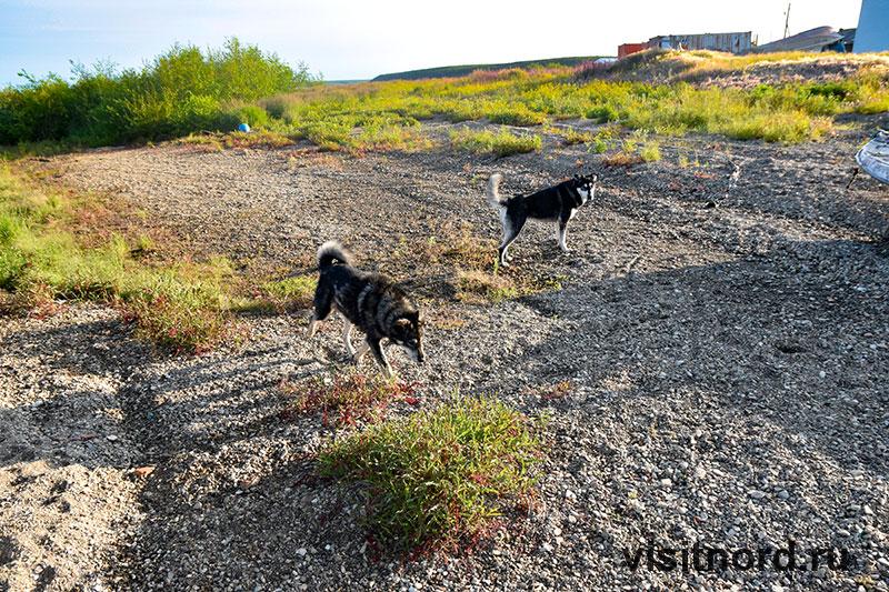 Собаки в Краснено